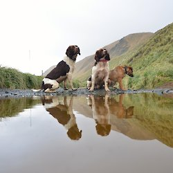 MIPEP dogs Colin, Joker and Cody reflected in a puddle on the track to the Doctors track