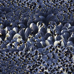 A large amount of penguins huddle very closely together