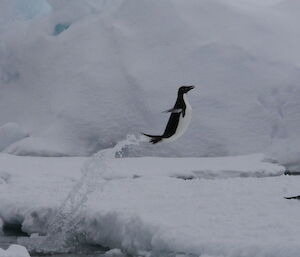 An Adélie penguin propelling itself out of the water onto the ice.