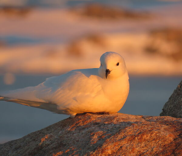 A snow petrel on Reeves Hill
