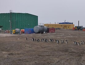 A large group of Adélie penguins waddles through station