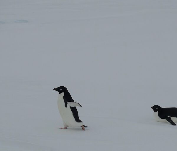 Against a grey ice background, one Adélie penguin walks across the frame while another belly-slides across behind it