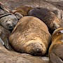 Six elephant seals cuddle together during their slumber with contented expressions on their faces.