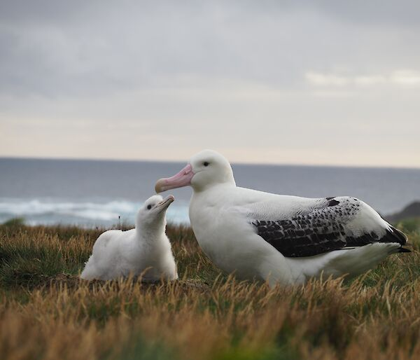 A young wandering albatross looks up at the father lovingly with the ocean in the background