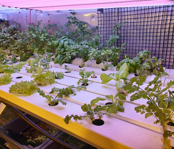 Celery, lettuces, spinach, coriander, basil and rocket growing in the Hydroponics facility at Casey