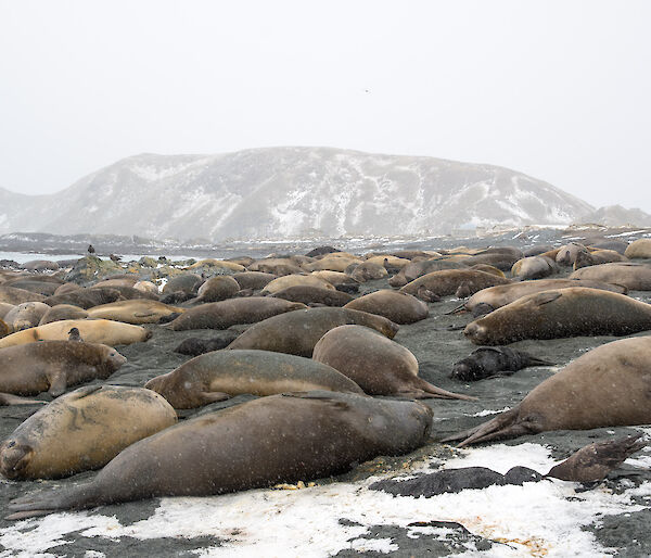 A large elephant seal harem with around 50 adult females and 30 pups lie on the beach in the snow.