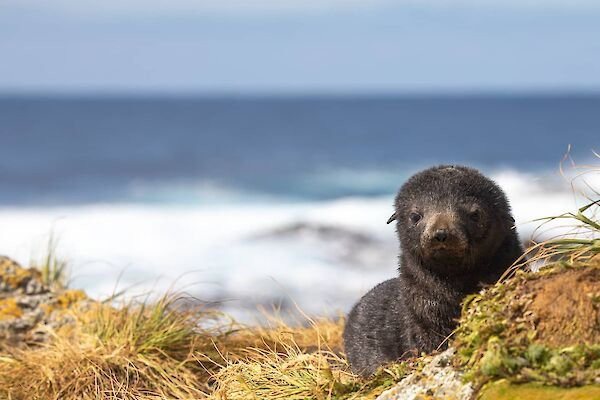 Cute fur seal pup in the grass looking at camera