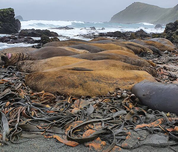 A group of elephant seals lying on the beach
